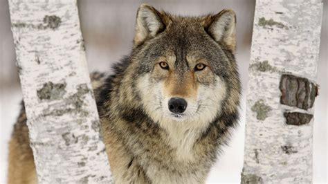 wolf wallpaper hd   pixelstalknet