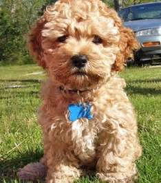 157 best images about cockapoo on