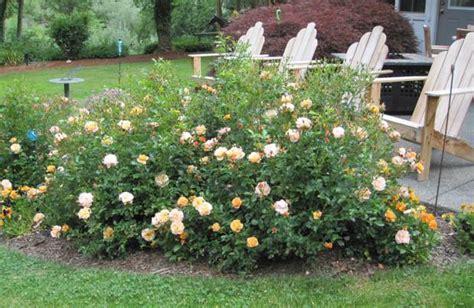 Flower Carpet Rose Amber   Carpet Vidalondon