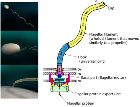diagram of flagella clarification of nanostructure of bacterial flagellar