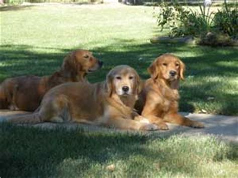 golden retriever dogs for sale in michigan golden retriever puppies for sale michigan dogs in our photo