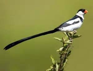 red black white bird with very long tail in southern