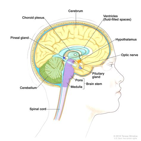 brain diagram top view diagram of the brain top view images how to guide and