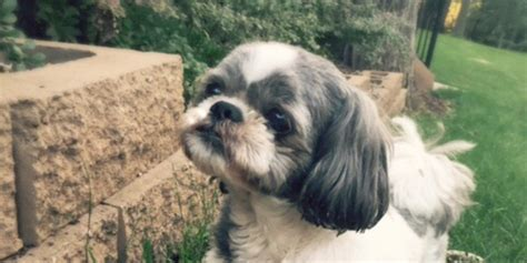 rescued shih tzu home northstar shih tzu rescue