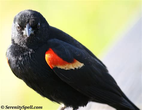 red winged blackbird serenity spell