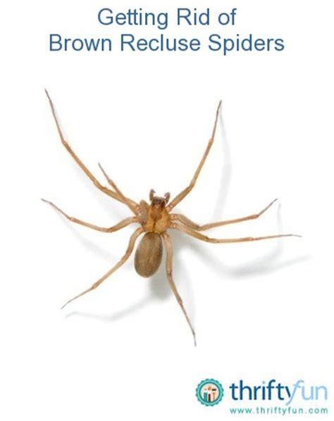 how to get rid of spiders in christmas tree getting rid of brown recluse spiders thriftyfun