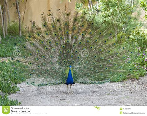 swing life stiles peacock wings open stock image image 14091041