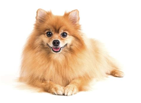 pomeranian mixed breeds excellent information about the pomeranian husky mix pomsky breed