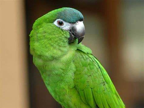 types of green parrots wallpaper