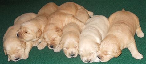 our sanity retreat golden retrievers our sanity retreat golden retrievers home