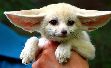 8 Most Adorable Animal by Mindblowing Planet Earth Fennec Fox Is The Most