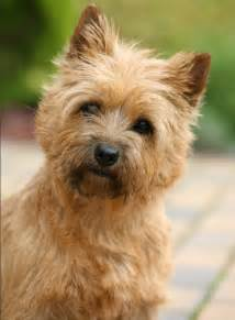 cairn terrier haircuts pictures of cairn terrier haircuts hairstyle gallery dog