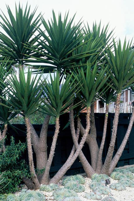 garten yucca striking trunks and architectural sharpness of the foliage