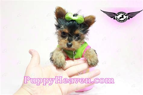 buy tiny teacup yorkie tesla tiny teacup yorkie puppy in los angeles found a new loving home