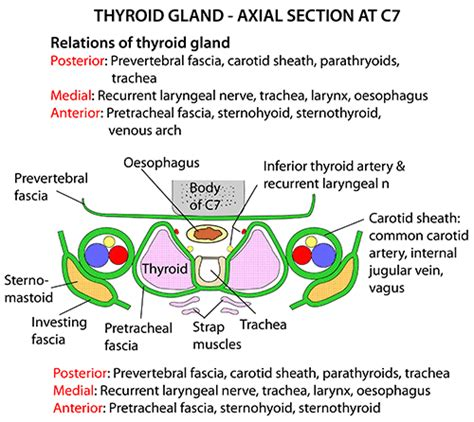 axial section instant anatomy head and neck areas organs thyroid