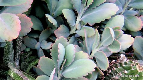 succulents meaning what does succulent mean in the garden with mariani