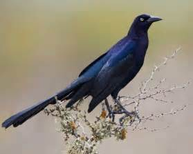 great tailed grackle audubon field guide