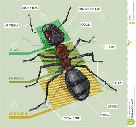 ant diagram diagram of an ant stock vector image 58762469