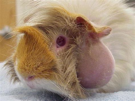 guinea pig tattoo phrases tattoos for guinea pig babies