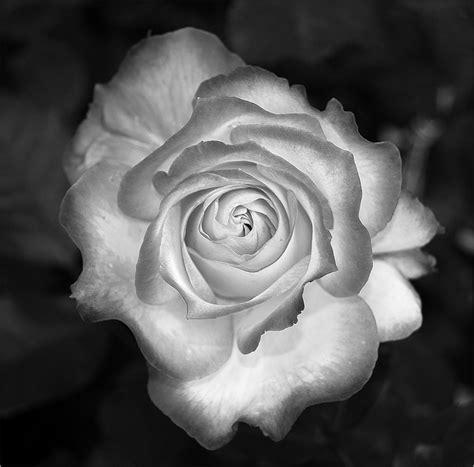 immagini in bianco e nero di fiori rosa bianco nero foto immagini piante fiori e funghi