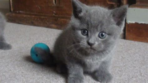 blue kittens for sale shorthair kittens for sale breeds picture