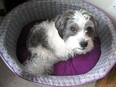 shih tzu cross terrier shih tzu terrier cross durham county durham