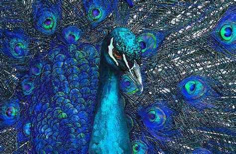 Peacock Blue blue peacock digital art by jane schnetlage