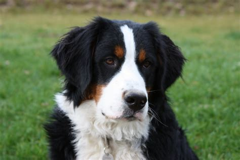 bernese mountain puppy bernese mountain breeders bernese mountain puppies for sale breeds picture