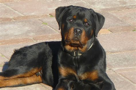rottweiler puppies in chicago rottweiler things you should before getting a rottweiler dogs and cats