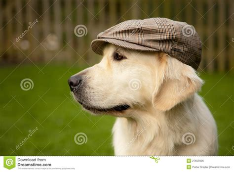 golden retriever hat golden retriever with hat royalty free stock image image 27655936
