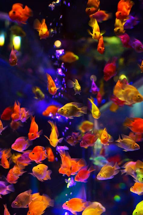 colorful goldfish 17 best images about aquarium on photo editor