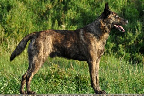 akc breeds shepherd breed information american kennel club