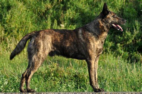 shepherd breeds shepherd breed information american kennel club