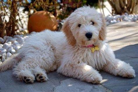 mini doodle saskatchewan miniature labradoodle puppies my summer