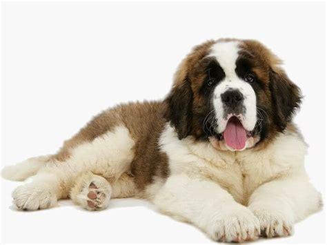 dieta para san bernardo las 5 cosas m 225 s esenciales de los perros san bernardo