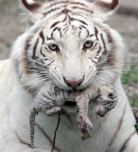 Baby White Tiger baby white tiger cubs