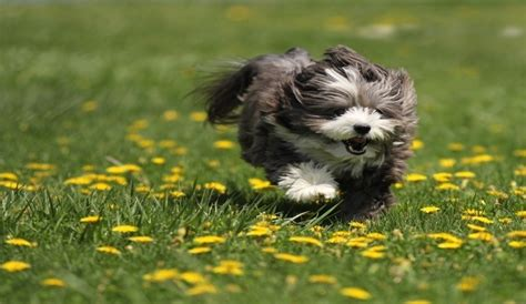 havanese food the best food for havanese small big nutrition herepup