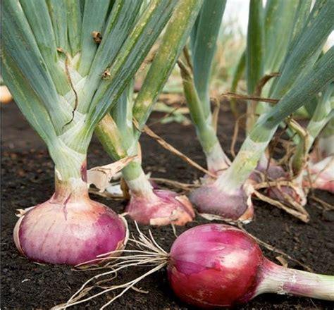 cara menanam bawang merah secara hidroponik belajar berkebun