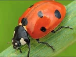 5 unusual facts ladybugs