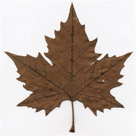 Maple Leaf maple leaf by vw1956stock on deviantart