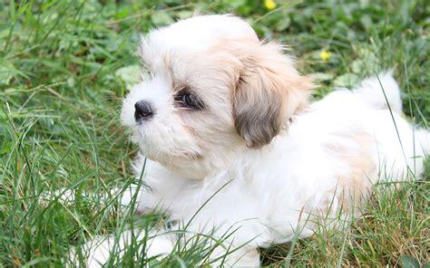cani piccola taglia da appartamento cani taglia piccola interesting cani piccolissima taglia
