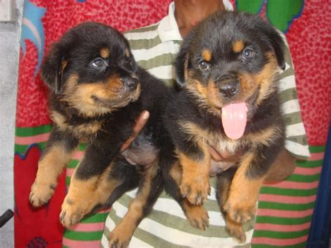 rottweiler price in kolkata rottweiler puppies for sale m raju 1 4595 dogs for sale price of puppies