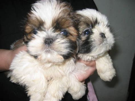 shih tzu for adoption the gallery for gt teacup shih tzu puppies