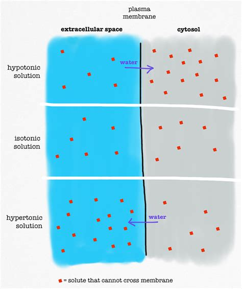 hypertonic diagram osmosis definition exles lesson transcript