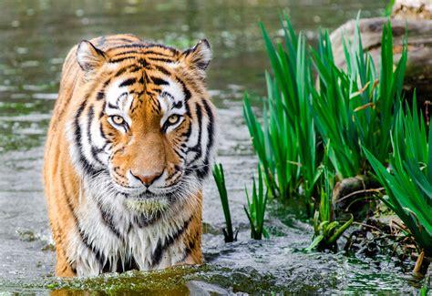 wallpaper bengal tiger hd animals
