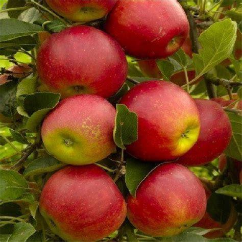 2 fruit trees in one apple tree multi variety fruit tree apple 5