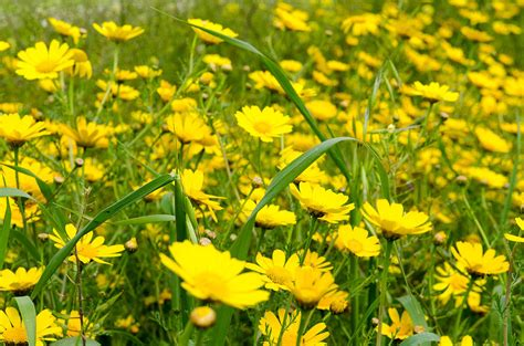 Uk Home Decor Blogs yellow wildflowers photograph by michael goyberg
