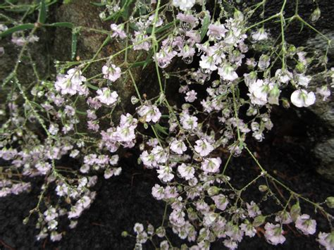 small shrub with white flowers small white flowers jooh