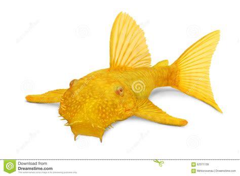 poisson d eau douce aquarium poisson naturel