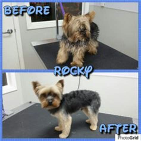 yorkie before and after grooming yorkie haircuts on yorkie terrier and wash